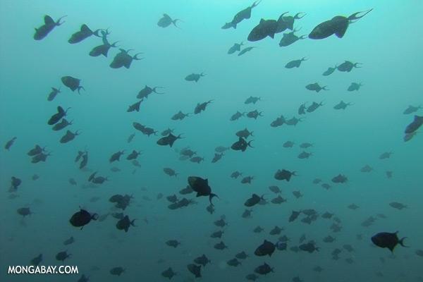 Triggerfish [sabah_underwater_0330]