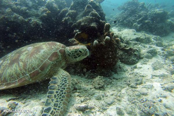 Sea turtle in Malaysia [sabah_underwater_0345]