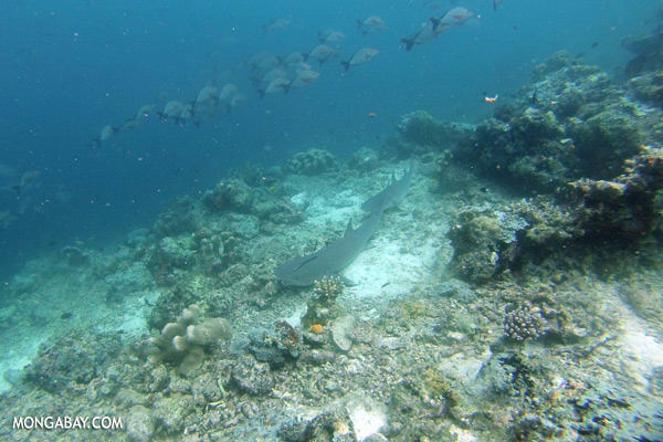 Shark [sabah_underwater_0349]