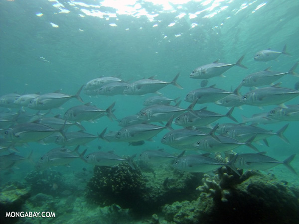 School of black trevally [sabah_underwater_0361]
