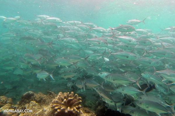 School of black trevally [sabah_underwater_0377]