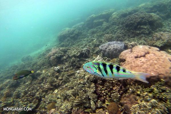 Parrotfish [sabah_underwater_0378]