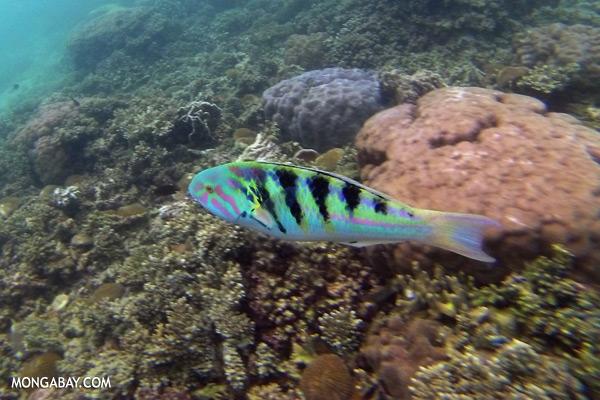 Parrotfish [sabah_underwater_0379]