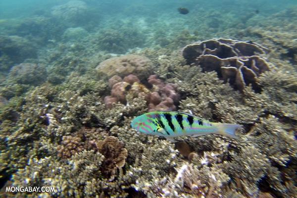 Parrotfish [sabah_underwater_0381]