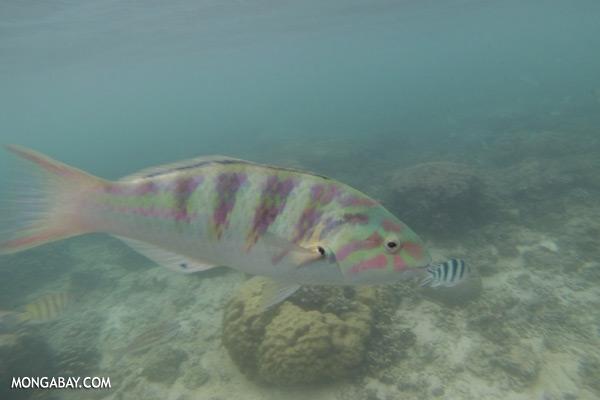 Parrotfish [sabah_underwater_0398]
