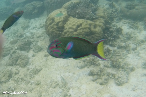 Parrotfish [sabah_underwater_0401]