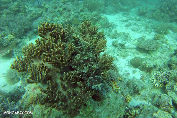 Crocodilefish (Cymbacephalus beauforti) [sabah_underwater_0460]