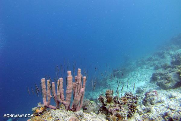 School of razorfish [sabah_underwater_0543]