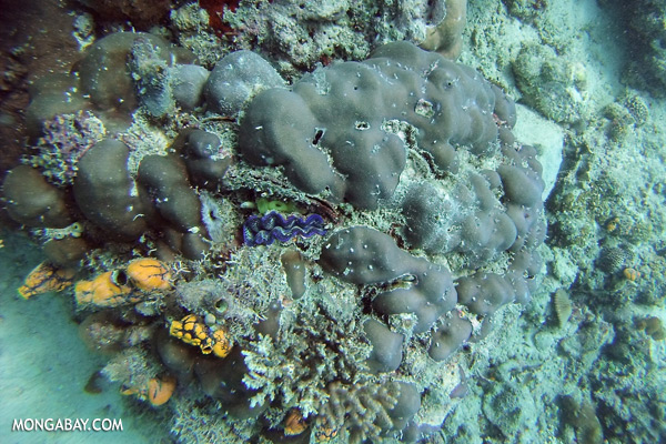 Undersea life in the Coral Triangle [sabah_underwater_0598]