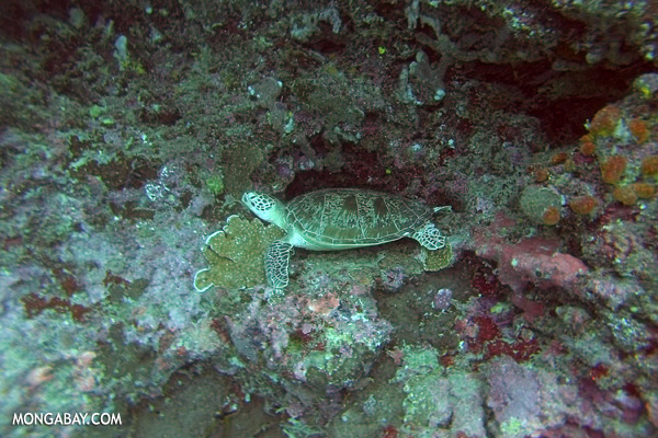 Green sea turtle [sabah_underwater_0665]