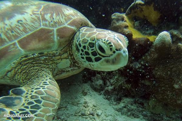 Green sea turtle [sabah_underwater_0718]