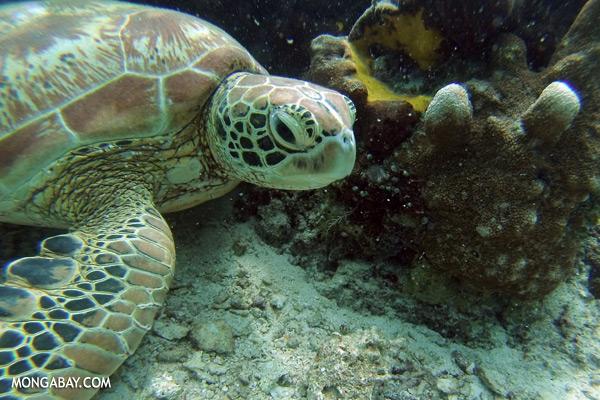Green sea turtle [sabah_underwater_0719]