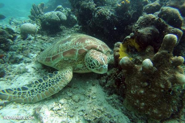 Malaysian sea turtle