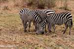 Plains zebra (Equus quagga burchellii) -- tz_1378