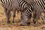 Maasai zebra (Equus quagga burchellii) -- tz_1379