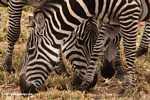 Burchell's zebra (Equus quagga burchellii) -- tz_1382