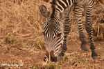 Plains zebra (Equus quagga burchellii) -- tz_1383
