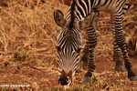 Burchell's zebra (Equus quagga burchellii) -- tz_1384
