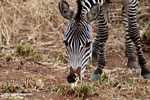 Plains zebra (Equus quagga burchellii) -- tz_1385