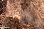 African lion -- tz_1610