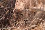 Lion -- tz_1619