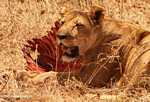 Lioness with zebra kill