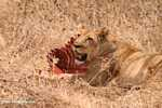 Lioness with zebra kill -- tz_1630