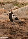 Blacksmith Lapwing (Vanellus armatus)