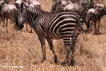 Plains zebra (Equus quagga burchellii) -- tz_1675