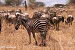 Burchell's zebra (Equus quagga burchellii) -- tz_1676