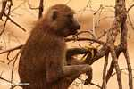 Olive Baboon (Papio anubis) feeding on a banana -- tz_1697