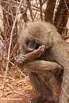Olive Baboon (Papio anubis) smelling its foot
