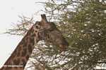 Masai Giraffe (Giraffa camelopardalis tippelskirchi) -- tz_1751