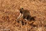 Vervet monkey digging through elephant dung for seeds
