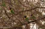 Blue Masked Lovebirds (Agapornis personata personata) in the wild [not Fischer's Lovebirds (Agapornis personata fischeri)]