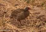 Red-necked Spurfowl (Francolinus afer)