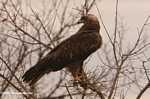 Black Kite (Milvus migrans) -- tz_1927