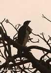Augur buzzard -- tz_1964