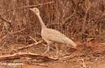White-bellied Bustard (Eupodotis senegalensis) [female]