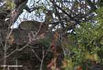 Mvundla (Oreotragus oreotragus)