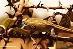 Chamaeleo sternfeldi chameleon -- tz_2155