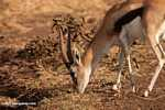 Thomsons Gazelle (Eudorcas thomsonii) [male]