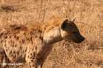 Spotted Hyena (Crocuta crocuta) -- tz_2379