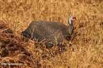 Helmeted Guineafowl (Numida meleagris) -- tz_2410