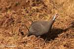 Helmeted Guineafowl (Numida meleagris) -- tz_2414