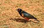 Superb starling (Lamprotornis superbus), not Hildebrandt's Starling (Lamprotornis hildebrandti)