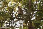 Vervet Monkey (Chlorocebus pygerythrus) in a tree