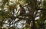 Vervet Monkey (Chlorocebus pygerythrus) in a tree -- tz_2450