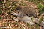 Vervet Monkeys (Cercopithecus aethiops) getting frisky