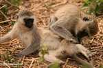 Vervet Monkeys doing monkey business